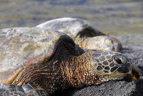Pair of Green Sea Turtles (Chelonia mydas) resting on the lava rock
