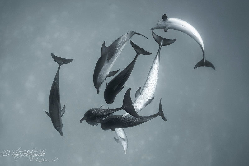 The Dance - Wild Atlantic Spotted Dolphins, Bimini, Bahamas, 2018