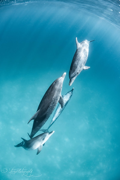 Perfection - Wild Atlantic Spotted Dolphins, Bimini, Bahamas, 2018
