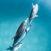Perfection - Wild Atlantic Spotted Dolphins, Bimini, Bahamas, 2018