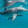 Connection - Wild Atlantic Spotted Dolphins, Bimini, Bahamas, 2018
