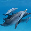 In Line - Wild Atlantic Spotted Dolphins, Bimini, Bahamas