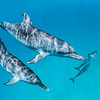 Bimini Blue - Wild Atlantic Spotted Dolphins, Bimini, Bahamas, 2018