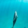 Aligned - Wild Atlantic Spotted Dolphins, Bimini, Bahamas, 2018