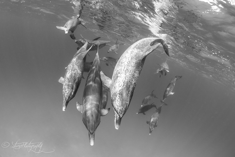 Teamwork - Wild Atlantic Spotted Dolphins, Bimini, Bahamas, 2018