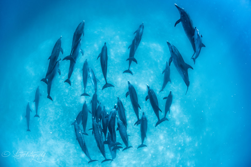 The Gathering - Wild Atlantic Spotted Dolphins, Bimini, Bahamas, 2018