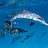 Becoming Friends - Wild Atlantic Spotted Dolphins, Bimini, Bahamas, 2018