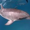 Insight - Wild Atlantic Spotted Dolphins, Bimini, Bahamas, 2018