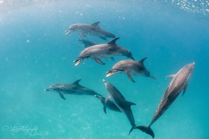Dolphin Song - Wild Atlantic Spotted Dolphins, Bimini, Bahamas, 2018