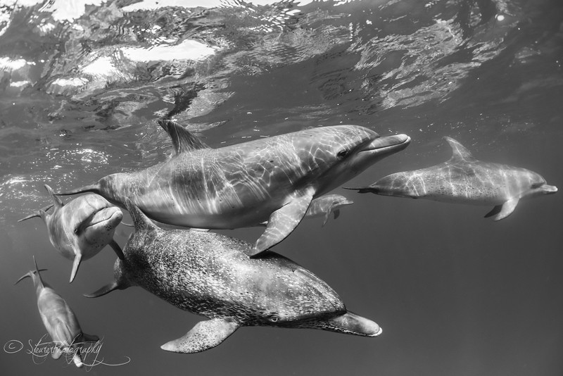 Playmates - Wild Atlantic Spotted Dolphins, Bimini, Bahamas, 2018