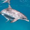 Protected - Wild Atlantic Spotted Dolphins, Bimini, Bahamas, 2018
