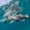 Evening Bath - Wild Atlantic Spotted Dolphins, Bimini, Bahamas, 2018