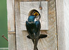 "<div class=""jaDesc""> <h4>Tree Swallow Feeding Chick - June 29, 2008 </h4> <p>The adults were visiting the nest with food about every 5 minutes.  So that the chick at the opening did not get all the food, the adults would enter the box and feed the other chicks inside.</p> </div>"
