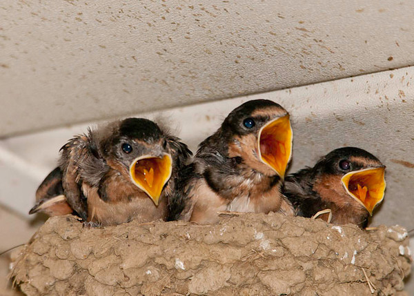 """<div class=""""jaDesc""""> <h4> Hungry Barn Swallows - August 13, 2012 </h4> <p> With the Barn Swallow youngsters full grown and ready to leave the nest, Mom and Dad were working over-time to feed those open beaks.  There must have been an abundance of easier to catch bugs today because their trips to the nest were more frequent.</p> </div>"""
