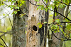 "<div class=""jaDesc""> <h4>Flicker Nest Hole - May 15, 2008 </h4> <p>Our dog alerted on this tree while we were on our morning walk.  I noticed a Flicker land on the trunk and circle it a few times.  Then I saw the nest hole.</p> </div>"