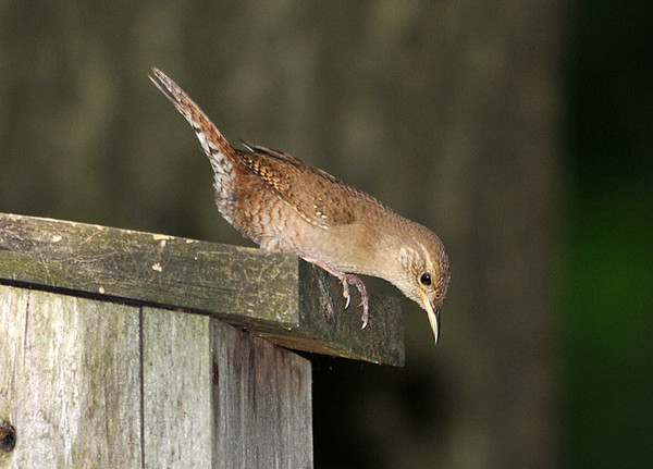 """<div class=""""jaDesc""""> <h4> House Wren Inspecting Nest Box - June 20, 2010</h4> <p> This male House Wren is inspecting a nest box trying to decide if he wants to start building.  He was carrying on a constant chatter with the female who was perched in a nearby tree.</p> </div>"""