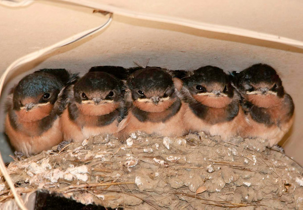 """<div class=""""jaDesc""""> <h4> Barn Swallows Ready to Leave Nest - June 26, 2012</h4> <p> The Barn Swallow nest in our garage was overflowing the day the chicks left the nest.  They could not have picked a more challenging day.  The wind was blowing 30 miles per hour.  They all survived being blown around.</p> </div>"""