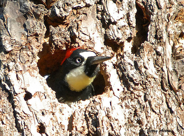 """<div class=""""jaDesc""""> <h4> Female Acorn Woodpecker in Nest Hole - November 3, 2009 </h4> <p> The Acorn Woodpecker pair had 2 nest holes in the tree where they were storing their acorns.  Sometimes one of them would go in the hole briefly and look out while another stuffed acorns in holes.  The female has a black band across her forehead between the red and white.</p> </div>"""