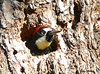 "<div class=""jaDesc""> <h4> Female Acorn Woodpecker in Nest Hole - November 3, 2009 </h4> <p> The Acorn Woodpecker pair had 2 nest holes in the tree where they were storing their acorns.  Sometimes one of them would go in the hole briefly and look out while another stuffed acorns in holes.  The female has a black band across her forehead between the red and white.</p> </div>"
