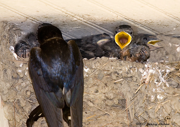 "<div class=""jaDesc""> <h4> Barn Swallow Feeding Chicks - July 20, 2007</h4> <p>The barn swallow parents were doing their best to keep 6 hungry mouths fed.  </p> </div>"