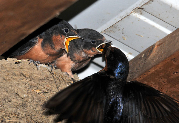 """<div class=""""jaDesc""""> <h4> Barn Swallow Chicks Being Fed - August 20, 2010 - Video Attached</h4> <p>Mom and Dad Barn Swallow are making bug runs all day long - about every 5 minutes. I'm sure they will be glad when the 2 chicks can catch their own food.</p> </div> </br> <center> <a href=""""http://www.youtube.com/watch?v=KS6IO84ZXSI"""" class=""""lightbox""""><img src=""""http://d577165.u292.s-gohost.net/images/stories/video_thumb.jpg"""" alt=""""""""/></a> </center>"""