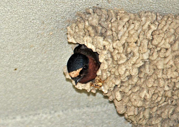 """<div class=""""jaDesc""""> <h4> Cliff Swallow in Nest - June 10, 2010</h4> <p>At a bank building in Owego, NY, a group of Cliff Swallows built their gourd-shaped nests under the overhangs.  There are about 12 nests, some of which have been taken over by House Sparrows.  The bank manager was very frustrated that these birds are a protected species and they were pooping all over the entrance to his new bank building. The bank employees were taking turns on poop cleanup detail. </p> </div>"""