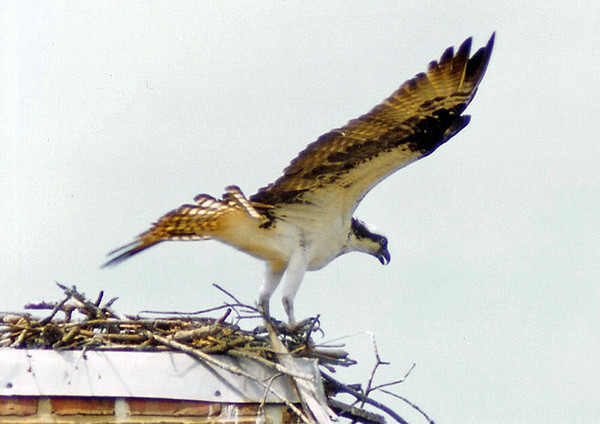 """<div class=""""jaDesc""""> <h4> Osprey Headed Out to Fish - July 2002 </h4> <p> The male Osprey does the hunting, while the female tends to the chicks.  Here the male is departing the nest to get another fish. The last fish he brought back looked like a 6-8 pounder.</p> </div>"""
