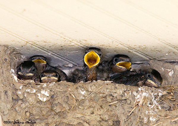 """<div class=""""jaDesc""""> <h4> Hungry Barn Swallow Chicks - July 20, 2007</h4> <p>Under the farmhouse front porch where we get our hay, a pair of barn swallows built side by side nests (one for the chicks and one for the parents).  Six hungry chicks were keeping the parent very busy. </p> </div>"""