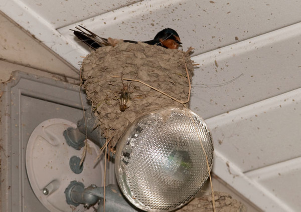 """<div class=""""jaDesc""""> <h4> Female Barn Swallow Sitting on Eggs - May 28, 2011</h4> <p>This is the completed Barn Swallow nest on the floodlight on our back porch.  While the nest was in progress, I unscrewed the bulb one turn so it does not come on, heat up and explode.  The female is sitting on 5 eggs.  </p> </div>"""