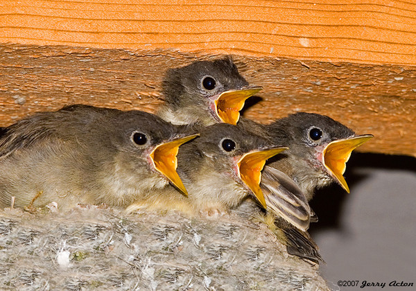 """<div class=""""jaDesc""""> <h4>Phoebe Chicks - We Are Starving - July 20, 2007 </h4> <p>You would think these Phoebe chicks had not been fed in quite awhile, but the truth is they get fed all day long.  Mom was arriving from behind me with a big grasshopper.</p> </div>"""