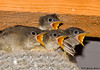"<div class=""jaDesc""> <h4>Phoebe Chicks - We Are Starving - July 20, 2007 </h4> <p>You would think these Phoebe chicks had not been fed in quite awhile, but the truth is they get fed all day long.  Mom was arriving from behind me with a big grasshopper.</p> </div>"
