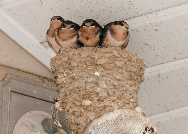 "<div class=""jaDesc""> <h4> Barn Swallow Nest - 2nd Round - August 13, 2012 </h4> <p> The Barn Swallow pair that nested in our garage this spring made their second nest on the flood lamp on our back porch.  Aside from an absolute mess on our porch deck, it was nice to have a close-up view of them growing up.  Three of the 4 youngsters in this shot had been out of the nest for about an hour this afternoon.  Dad was coaxing the 4th one, but he wasn't quite ready to venture out. </p> </div>"