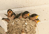 "<div class=""jaDesc""> <h4> Barn Swallow Chicks on Garage Door Opener - July 2, 2011</h4> <p>  </p> </div>"