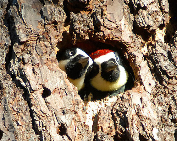 """<div class=""""jaDesc""""> <h4>Acorn Woodpeckers Peeking Out of Nest - November 3, 2009 </h4> <p> The last Acorn Woodpecker pair had disappeared into their nest hole and then stuck their heads out at the same time.</p> </div>"""