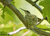 "<div class=""jaDesc""> <h4> Female Ruby-throated Hummingbird Sitting on Eggs - July 14, 2009 </h4> <p> Our neighbors watched a female Hummingbird gathering nesting material over a 3 day span, but could not figure out where she was building the nest.  Yesterday they called to say they had accidentally found the nest in a tree in their yard.  The nest was swaying wildly in the breeze while mom rested calmly on top of the eggs.</p> </div>"