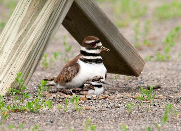 "<div class=""jaDesc""> <h4> Killdeer Babies Arrive - June 13, 2011 </h4> <p> This morning four Killdeer eggs hatched in the nest at our neighbor's horse riding arena.  Two of the chicks wandered around the nest area, but quickly returned to the nest when mom scolded them.  Mother Killdeer would circle the nest periodically scanning for any predators.  Each time she returned, all four chicks would snuggle under her breast and wings.</p> </div>"