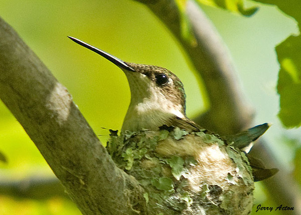 "<div class=""jaDesc""> <h4> Ruby-throated Hummingbird Nest Close-up - July 17, 2009 </h4> <p>  I was able to get a second photo of the female Ruby-throated Hummingbird sitting on her nest.  The full nest is about the size of a silver dollar.</p> </div>"