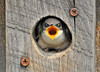 "<div class=""jaDesc""> <h4>Tree Swallow Chick in Nest Box - Very Hungry - June 27, 2010 </h4> <p>  </p> </div>"