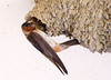 "<div class=""jaDesc""> <h4> Adult Cliff Swallow at Nest - July 27, 2009</h4> <p>The adult Cliff Swallows would arrive with food about every 5 minutes.  They were a bit wary of my presence and kept an eye on me as they fed their chicks.  They always brace themselves with their tail feathers.</p> </div>"