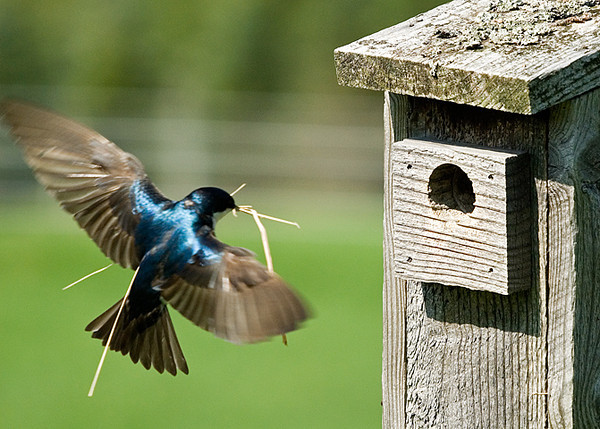 """<div class=""""jaDesc""""> <h4>Tree Swallow with Nest Material - May 5, 2008 </h4> <p>At least 4 pair of Tree Swallows are busy building nests in nest boxes around our property.  This male is inbound with some bits of hay from our barnyard area.</p> </div>"""