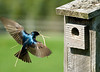 "<div class=""jaDesc""> <h4>Tree Swallow with Nest Material - May 5, 2008 </h4> <p>At least 4 pair of Tree Swallows are busy building nests in nest boxes around our property.  This male is inbound with some bits of hay from our barnyard area.</p> </div>"