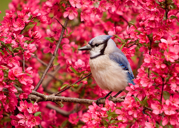"""<div class=""""jaDesc""""> <h4> SPRING - Blue Jay in Blooming Crabapple Tree </h4> </div>"""