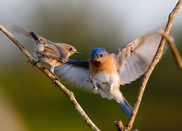 "<div class=""jaDesc""> <h4> SPRING - Male Bluebird Bringing Mealworms to Female </h4> </div>"