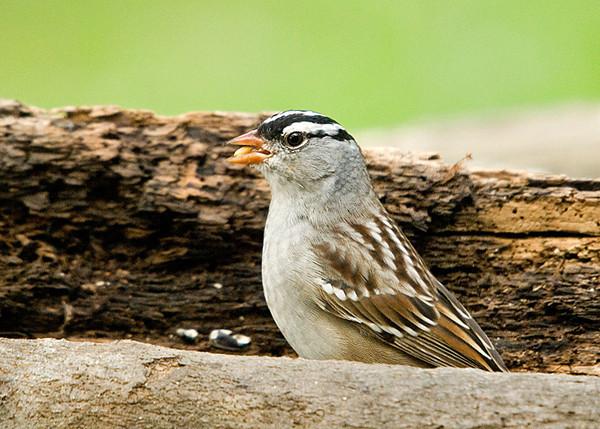 """<div class=""""jaDesc""""> <h4> SPRING - White-crowned Sparrow Migrating Through </h4> </div>"""