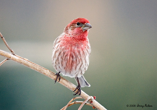 "<div class=""jaDesc""> <h4> SUMMER - Male House Finch Visiting Feeder Area</h4> </div>"
