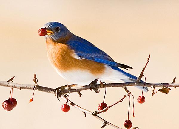 """<div class=""""jaDesc""""> <h4>FALL - Male Bluebird Enjoying a Crabapple </h4> </div>"""