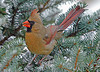 "<div class=""jaDesc""> <h4> WINTER - Female Cardinal in Used Christmas Tree </h4> </div>"