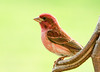 "<div class=""jaDesc""> <h4> SUMMER - Male Purple Finch Posing </h4> </div>"