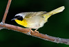 "<div class=""jaDesc""> <h4> SUMMER - Male Common Yellowthroat Guarding His Nesting Area </h4> </div>"