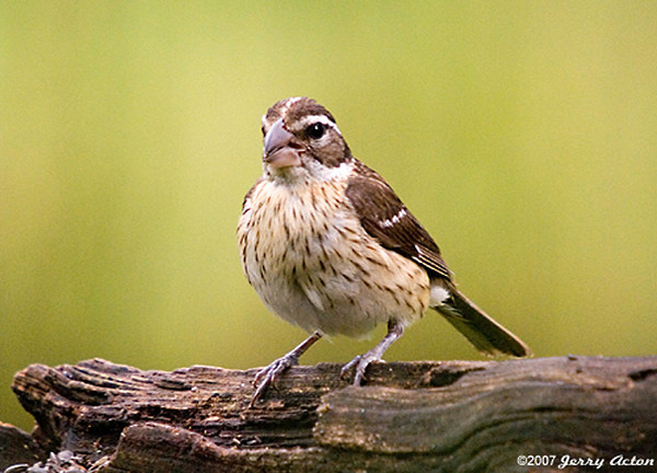 "<div class=""jaDesc""> <h4> SPRING - 1st Female Rose-breasted Grosbeak Arrives </h4> </div>"